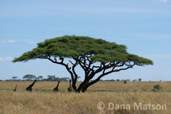 Acacia Tree with Giraffes