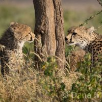 Cheetah Cubs Sniffing a Tree