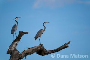 Herons Standing on a Tree