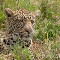Leopard Close Up