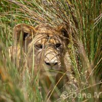 Lion Cub in the Grass