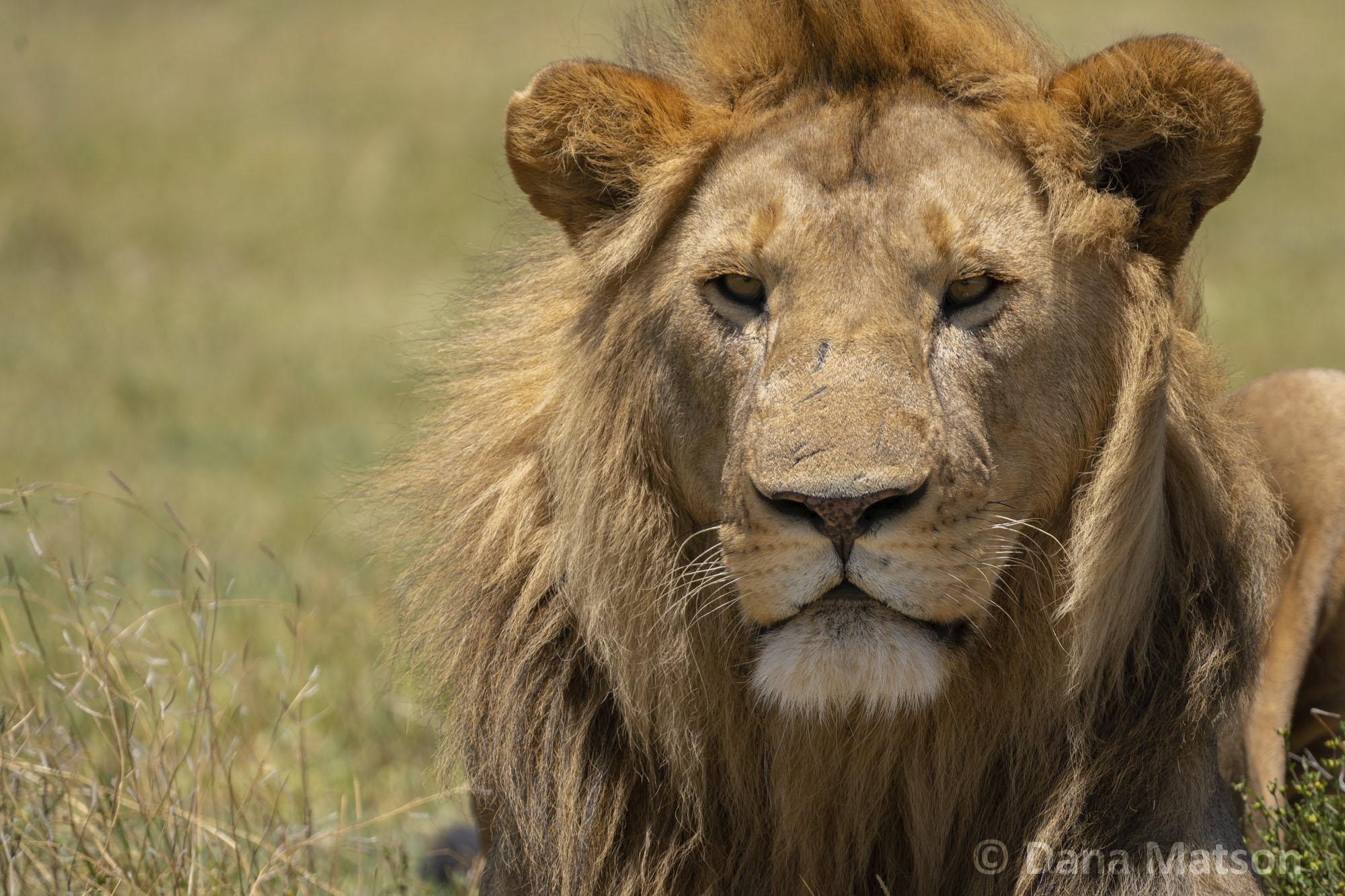 Lion Looking at the Camera