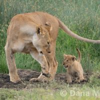 Lion Cub Mimicking Lioness and being fierce