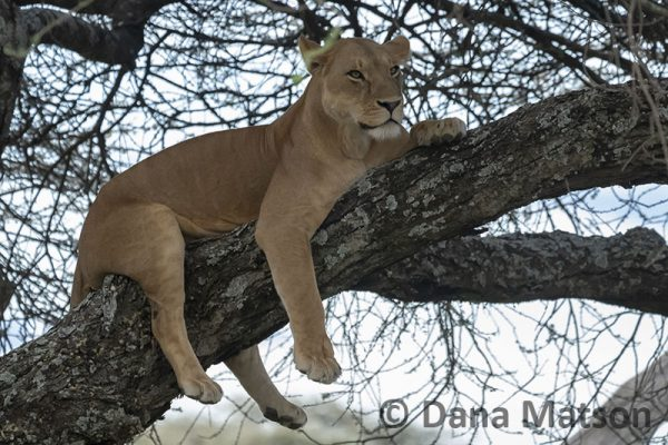 Lioness Relaxing in a Tree
