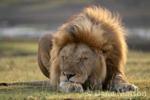 Sleeping Lion Full Color