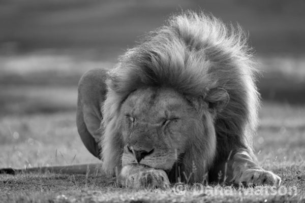 Sleeping Lion Grayscale