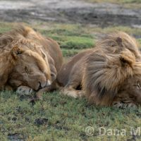 Pair of Lions sleeping side-by-side