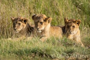 Three Lion Cubs Just Hanging Out