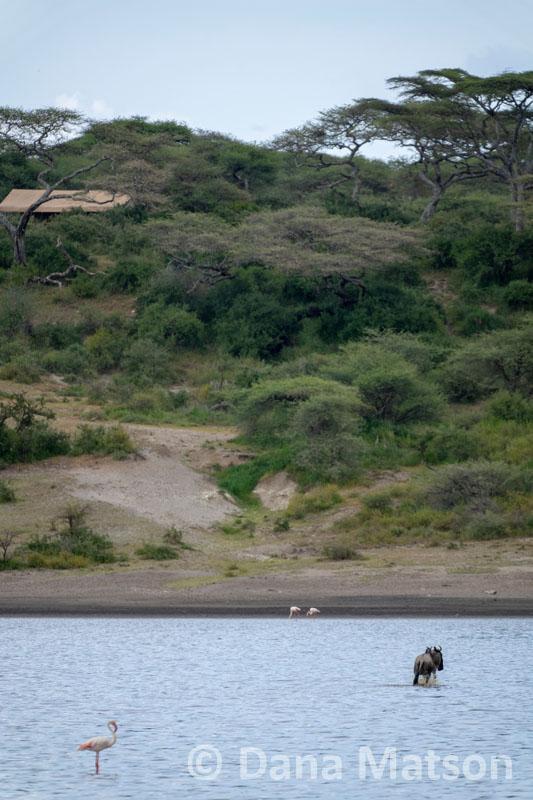Wildebeest Crossing Water