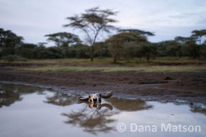 Wildebeest Skull in a Puddle