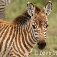 Portrait of a young Zebra