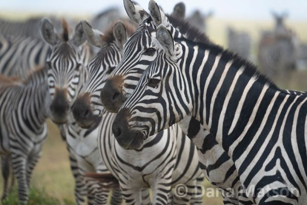 Zebras in a Line