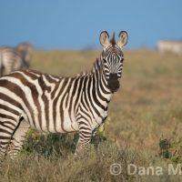Zebra Standing In a Field