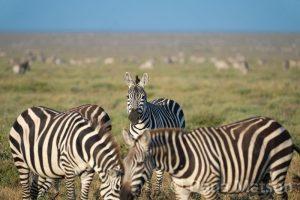 One Zebra Looks Ahead