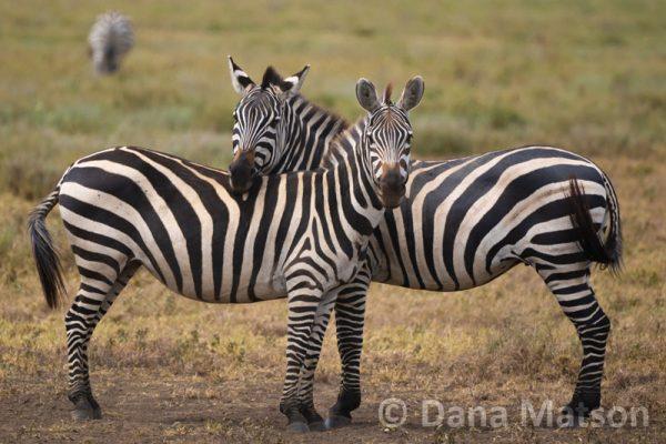 Zebras with Necks Crossed